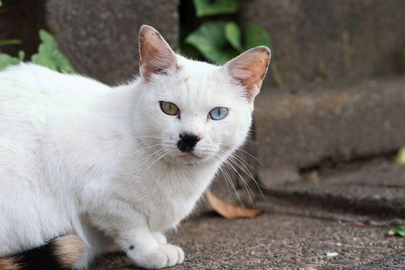 Heterochromia16 Разноглазые кошки