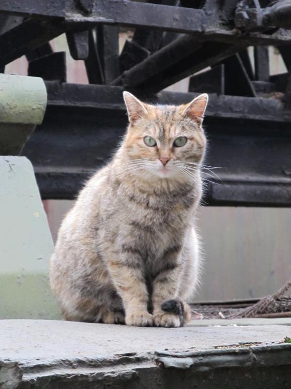 Кот. Просто кот. бронетехника, животные, коты