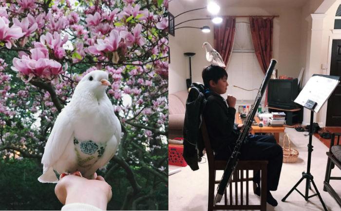 Домашний голубь из США носит штаны и любит сидеть на ноутбуке