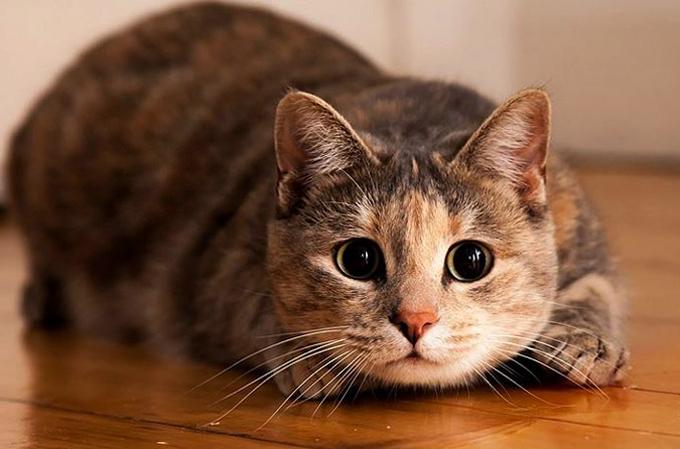 Любители кошек, вот преимущества владения кошкой для здоровья!
