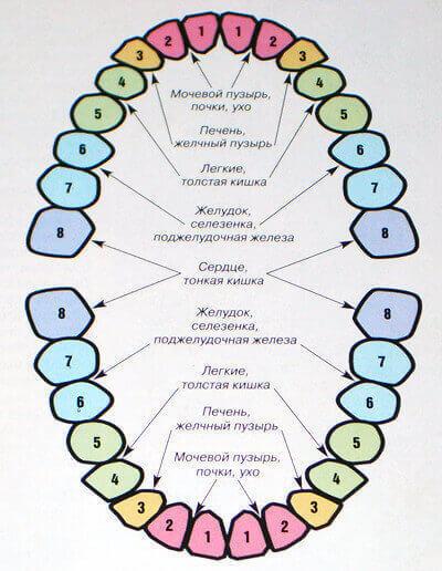 Связь зубов с органами, эндокринной системой
