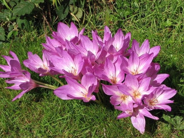 Оптимисты-безвременники, которые раскрасят ваш сад на пороге зимы