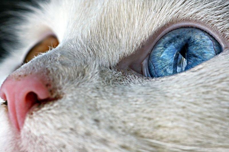Heterochromia00 Разноглазые кошки