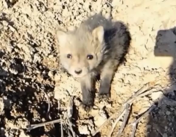 Этого раненого лисенка нашли в лесу...