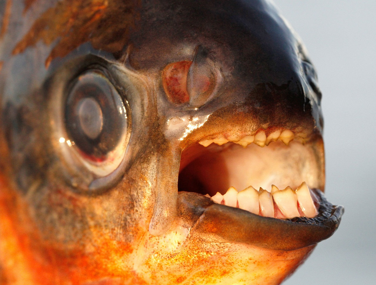 Рыба страшная с зубами