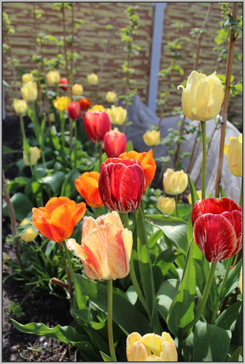 Малина + тюльпаны = красотища+вкуснотища.