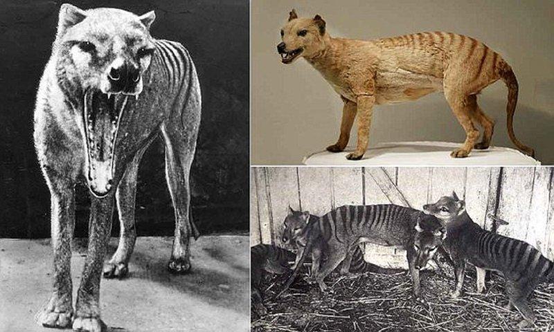 Почему вымерли сумчатые волки?
