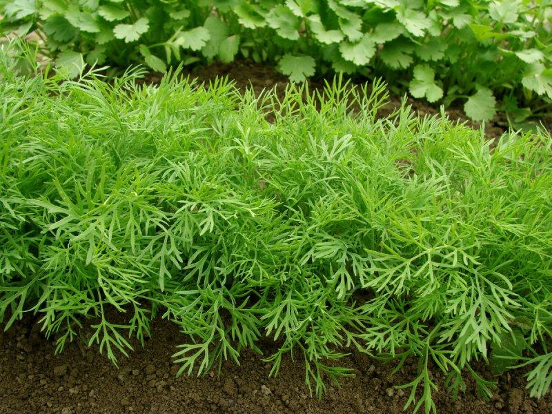 Укроп выращивание и уход в открытом грунте