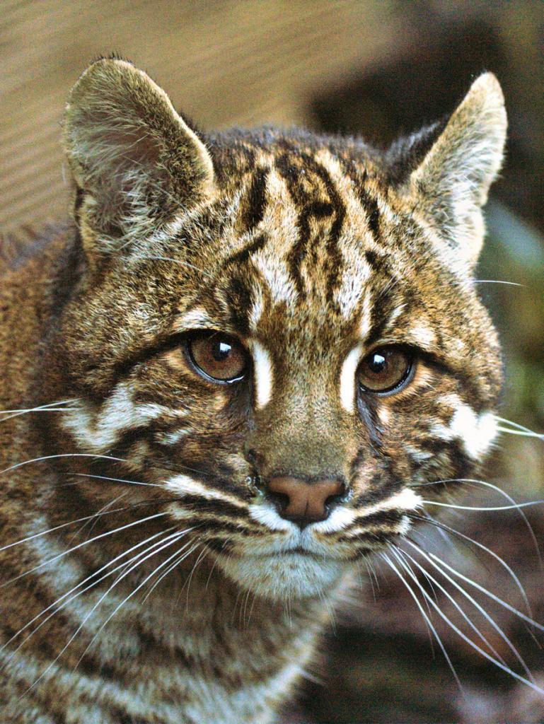 КОШКИН ДОМ. Катопумы – загадочные кошки