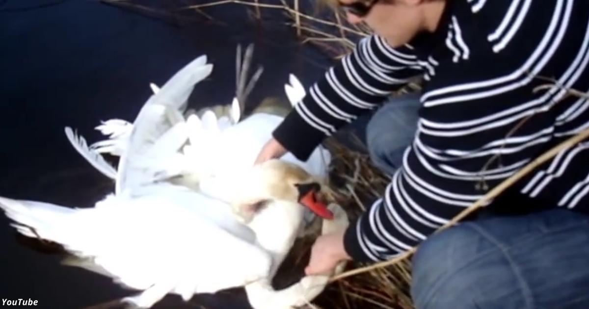 Лебеди умоляли о помощи!.. На них обратили внимание только эти 2 парня