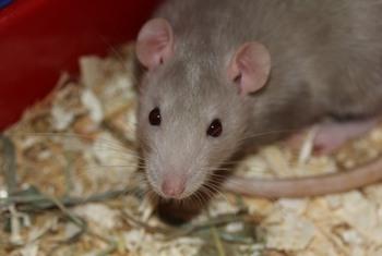 Район Нью-Йорка атакуют крысы, местные власти бьют тревогу