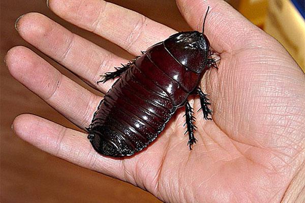 Картинки по запросу большие тараканы в Таиланде и Азии