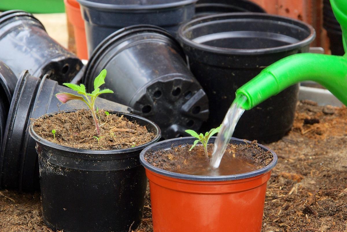 Чем поливать рассаду помидоров 737