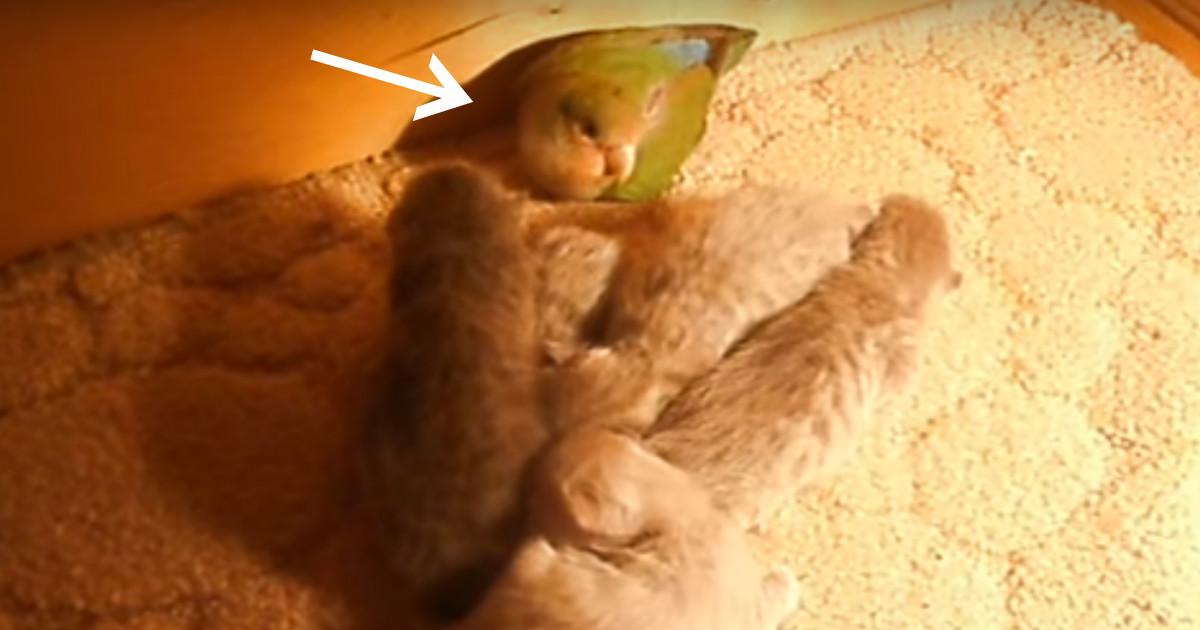 """Попугай """"обижал"""" котят, пока не пришла мама-кошка! Узнайте, что там случилось на самом деле"""