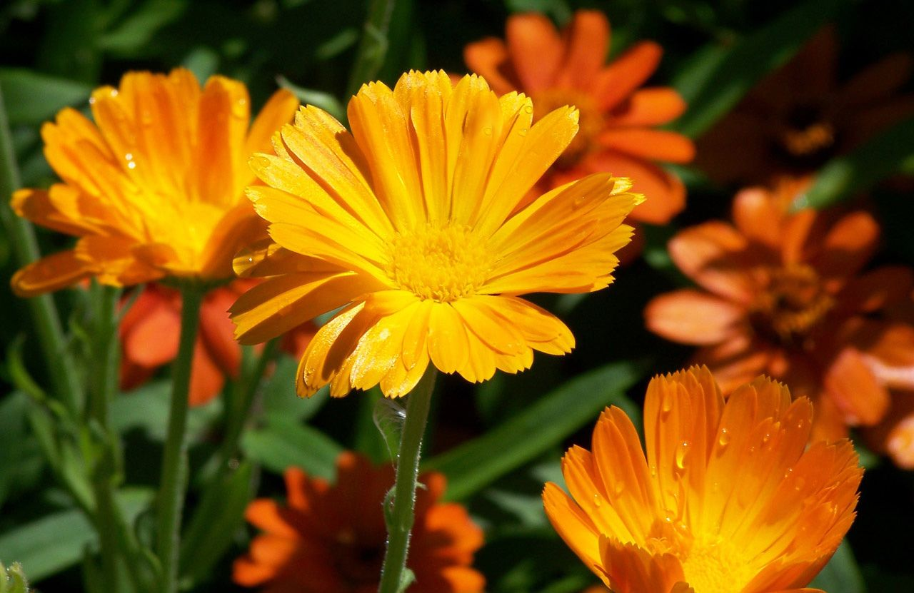 Садовые цветы оранжевого цвета названия и фото