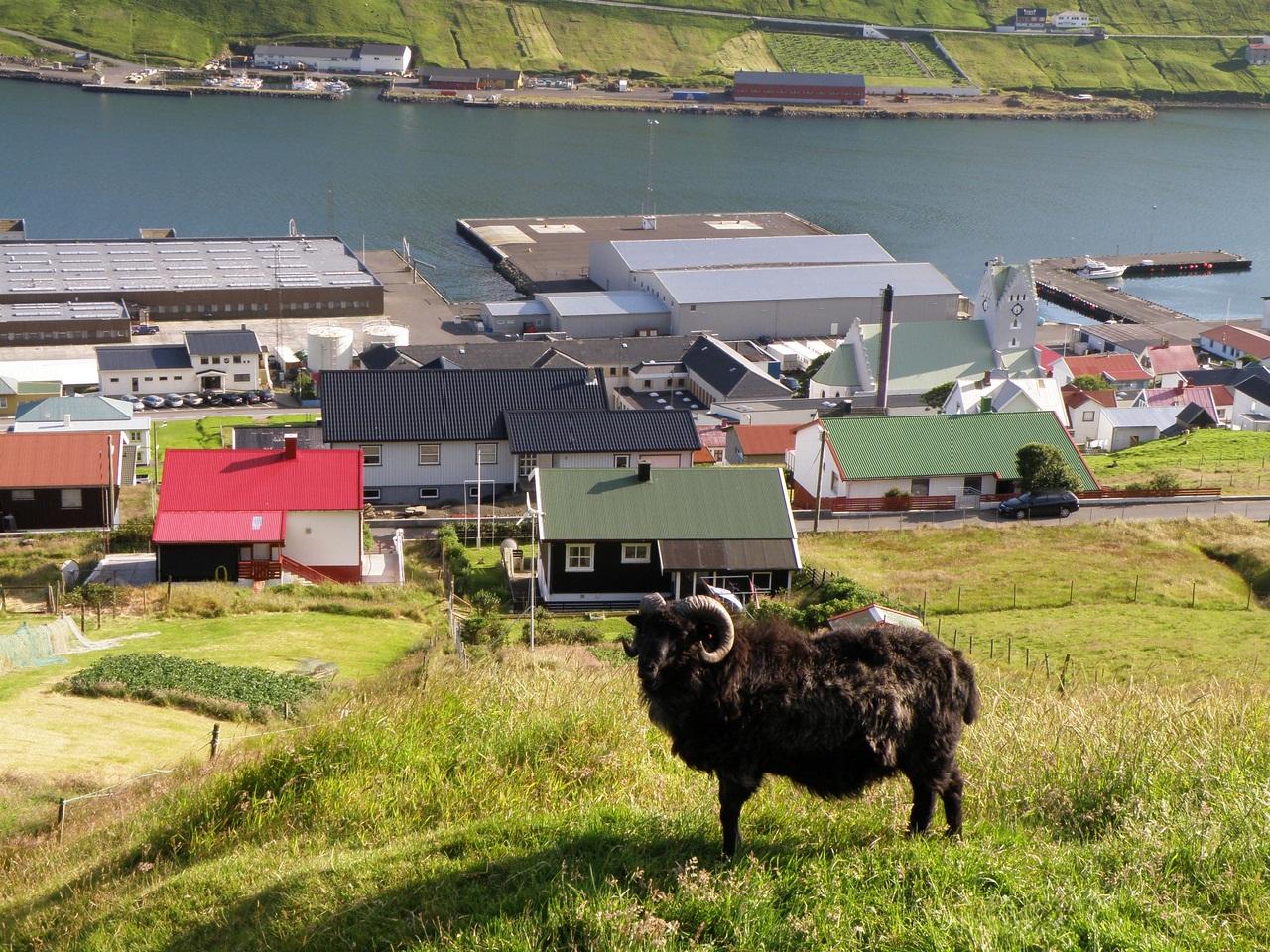 Фото достопримечательностей Стран Скандинавии: Бараны и овцы на Ферерах встречаются в самых неожиданных местах