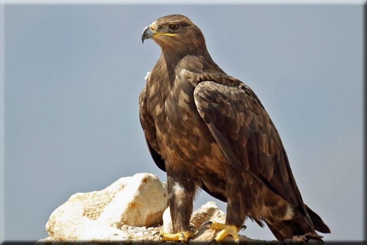 Что делает орёл, когда доживает до старости?