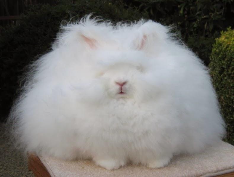 ангора-кролик-7