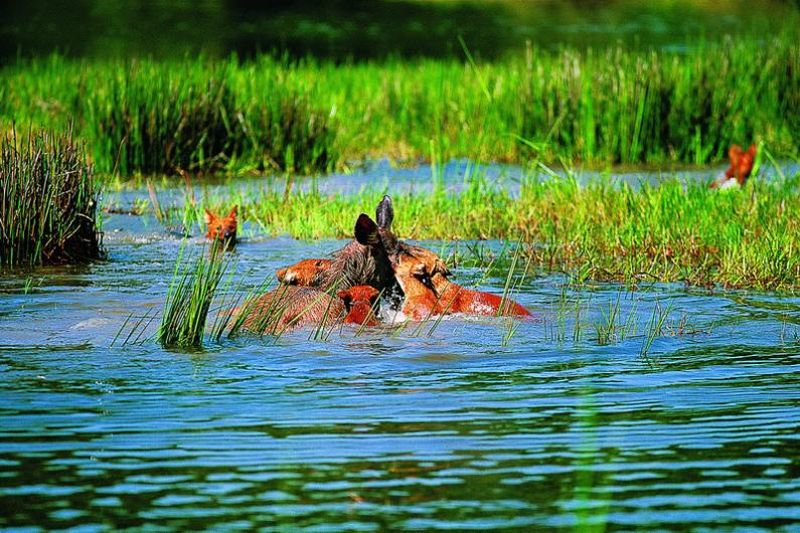 dhole Тайский заповедник дикой природы Phu Khieo