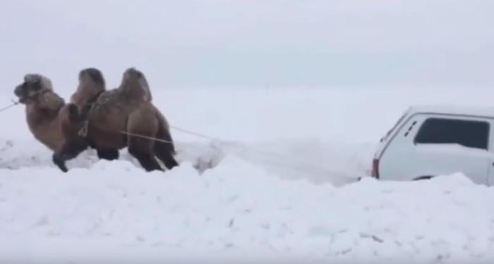В России верблюд вытащил застрявшую в снегу Lada 4x4
