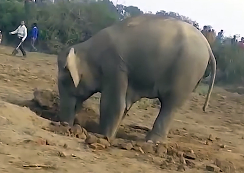 Слониха 11 часов рыла яму в …