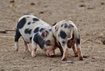 В Иркутской области зарегистрирована вспышкам африканской чумы свиней