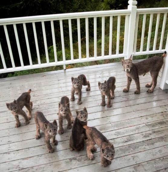 К жителю Аляски «пришла в гости» необычная семья — мама-рысь и семеро ее котят!