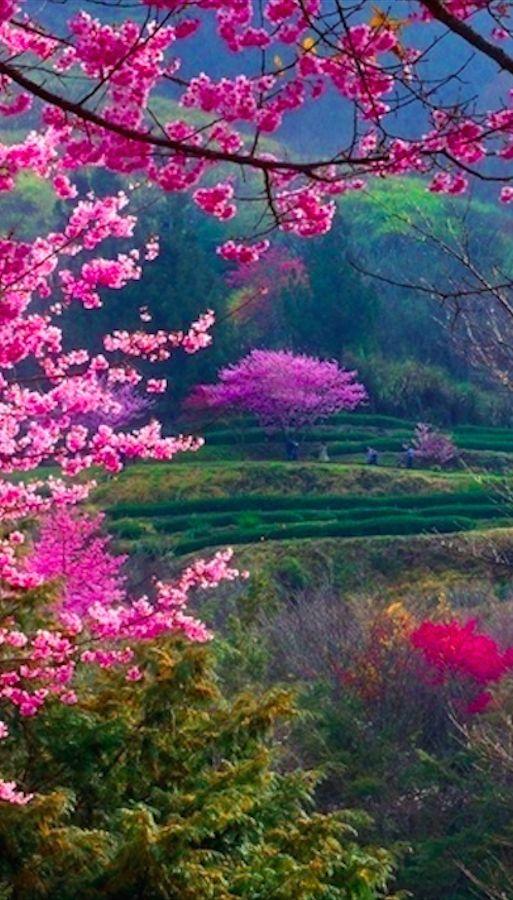 День цветения сакуры