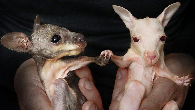 Самые необычные кенгурята -близнецы