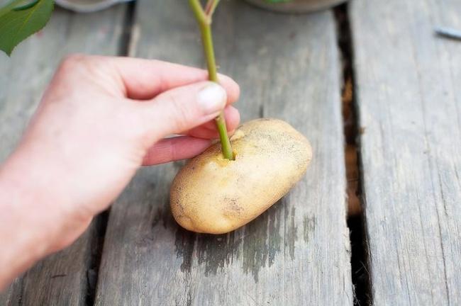 Выращиваем картофель в домашних условиях