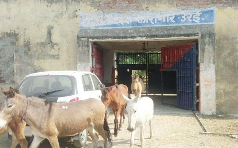 В Индии посадили в тюрьму осликов, которые съели дорогие саженцы