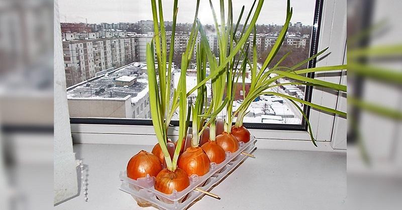 Земля здесь не нужна! Самый чудный способ выращивания лука.