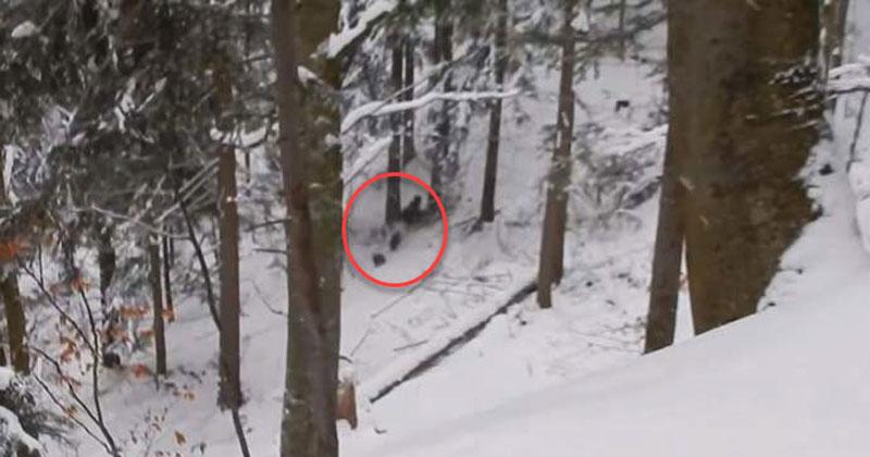 Медведицу и медвежат окружила стая волков. Неожиданно на помощь пришел он!