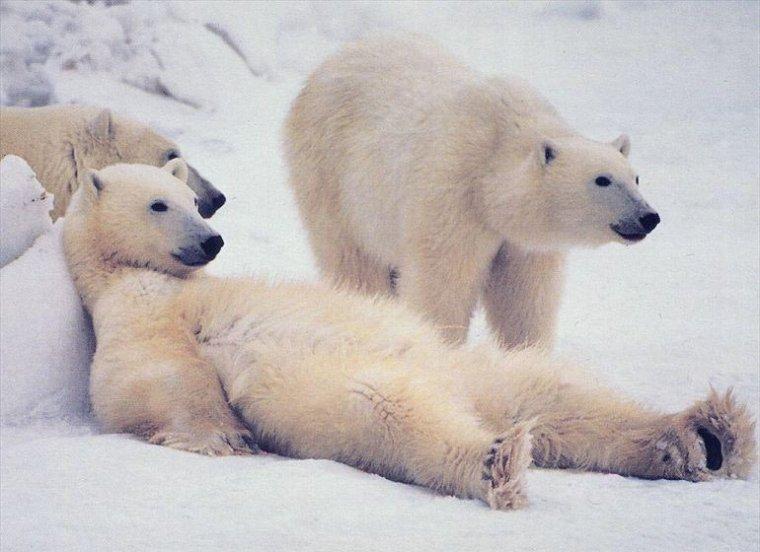 Полярный медведь напал на человека!