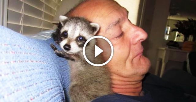 Мужчина спас малыша-енота и внезапно обрел преданного друга. До чего милая парочка!