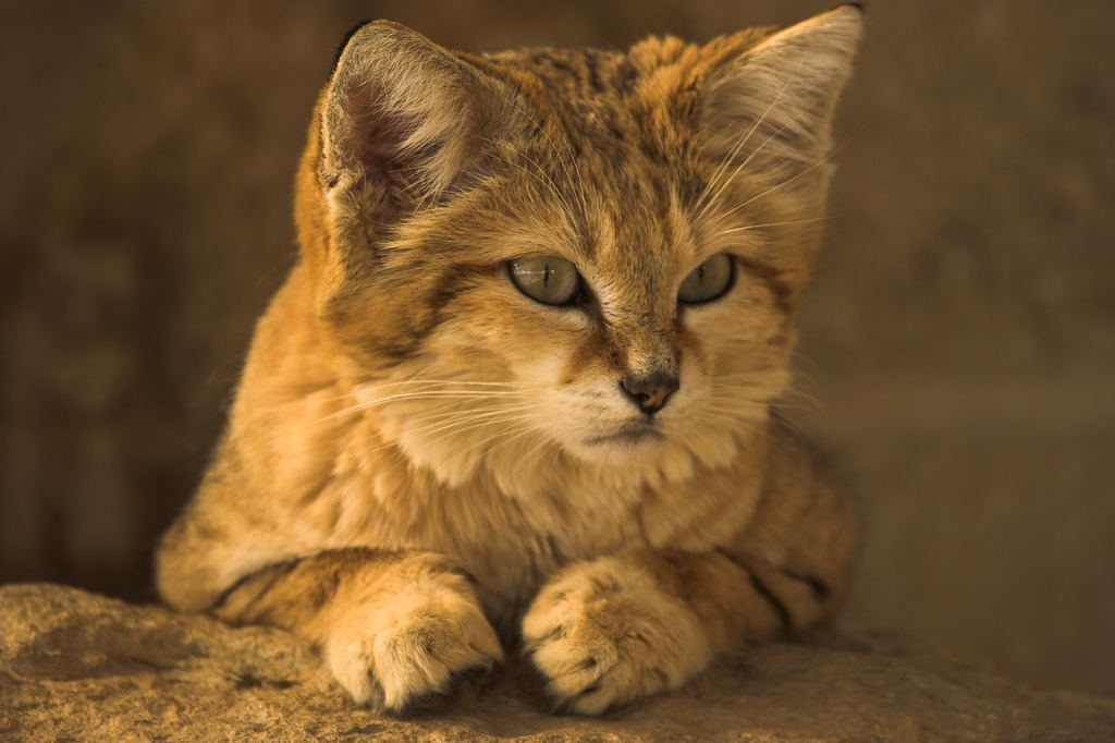 http://animalworld.com.ua/images/2011/August/Animals/Felis-margarita/Felis-margarita_1.jpg