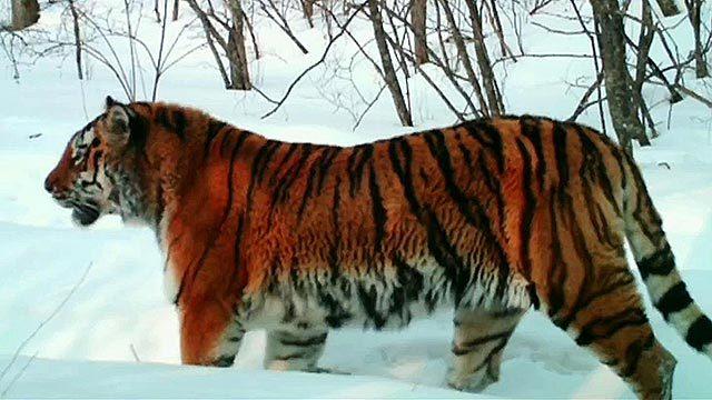 Под Владивостоком за неделю обезвредили двух тигров