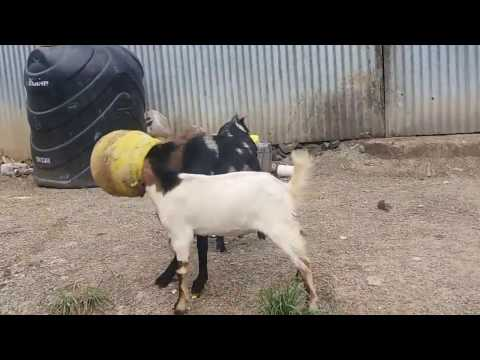 2 goats stuck in pot