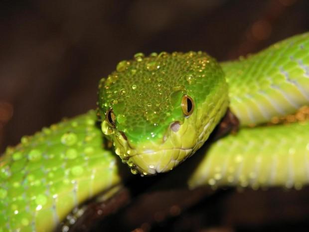 Картинки по запросу Змеи в Азии