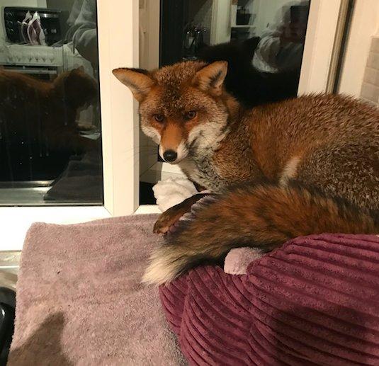 """""""Рыжий узурпатор"""" пробрался в квартиру и занял кошачью кровать… Кот в шоке, лис в шоколаде"""