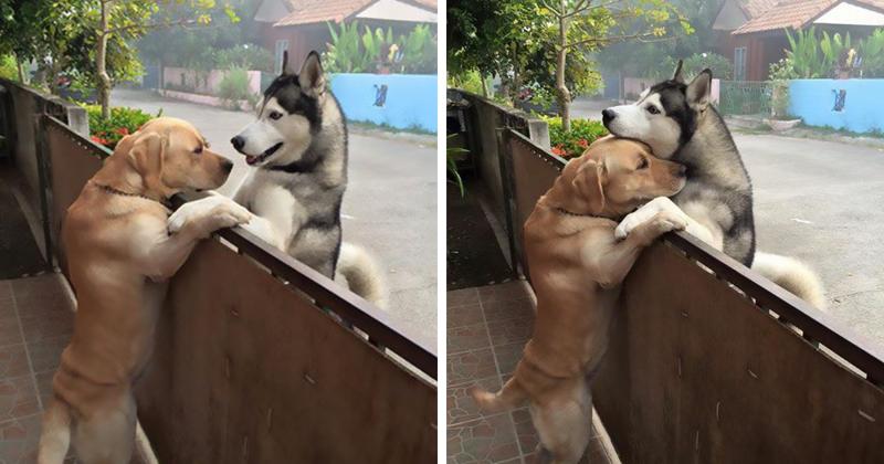 Одинокий пес сбежал со двора, чтобы обнять друга дружба, животные, история, лабрадор, объятие, собака, фото, хаски