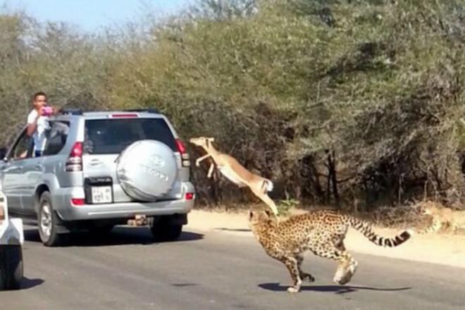 Испуганная антилопа спаслась от гепардов в машине туристов