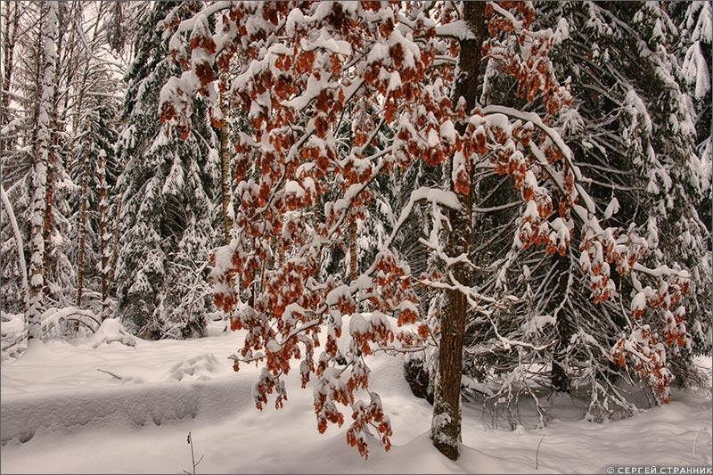 Фото Гжель Дуб, засыпанный лесом
