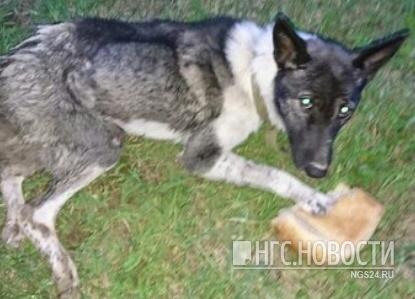 Спасение пса с переломанным позвоночником