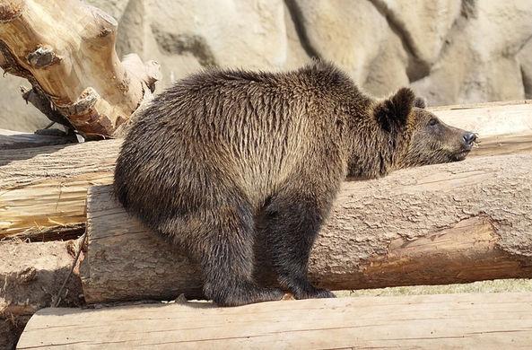 Удмуртский медведь предсказал приход весны