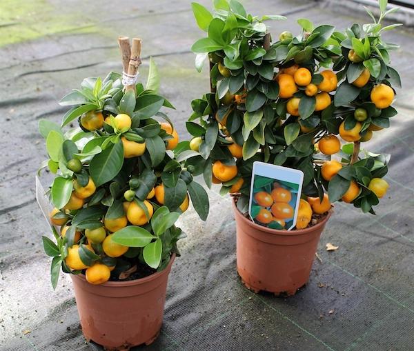 Нет собственного сада? Посадите на подоконнике мини-мандарин!