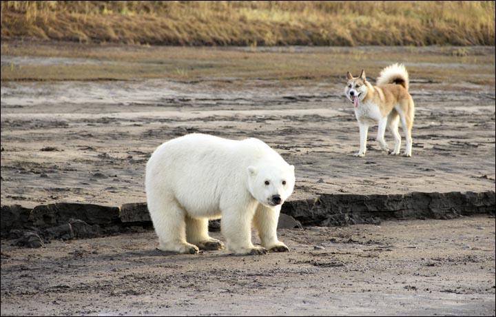 Найденного на реке Колыма белого медвежонка могут привезти в Москву