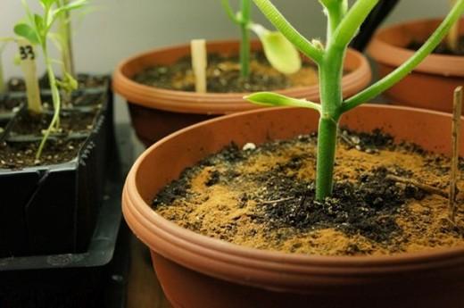 Корица для комнатных растений