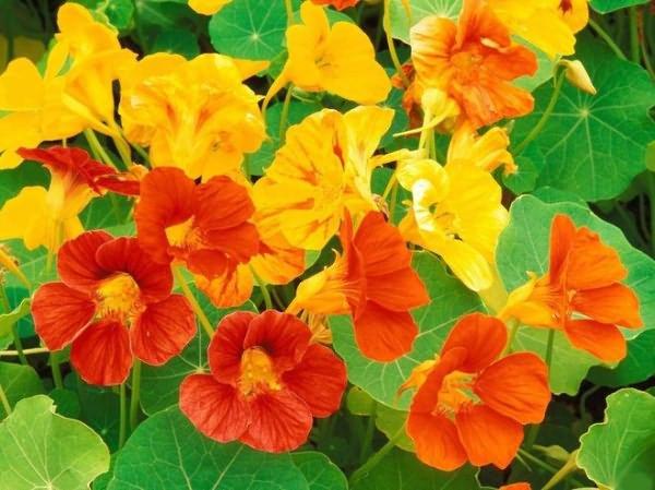 Пример цветов настурции