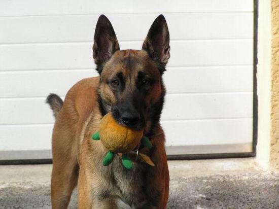 Клуб Служебного Собаководства